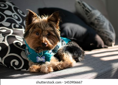 Cute yorkie posing on a couch, with a nice amount of shadows.