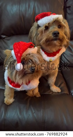 Cute Yorkie Puppies Dressed Santa Outfits Stock Photo Edit Now