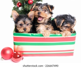 Cute Yorkie Puppies in a  Gift Box for Christmas