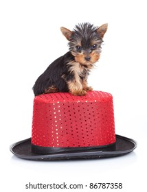 cute yorkie toy standing on top of a show hat