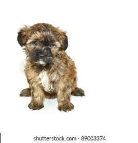 Cute Yorkie-Poo puppy on a white background with copy space.