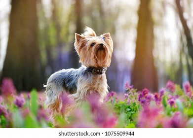 Cute yorkshire terrier dog in the blooming park