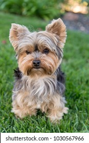 Cute Yorkshire Terrier Dog on green grass. Yorkie