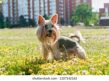 A cute Yorkshire Terrier dog on the grass.