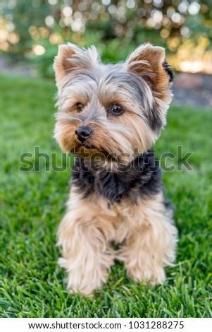 Cute Yorkshire Terrier Dog On Green Stockfoto Jetzt Bearbeiten