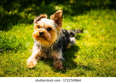 Cute Yorkshire Terrier dog portrait lying in the grass on sunny day copy space background
