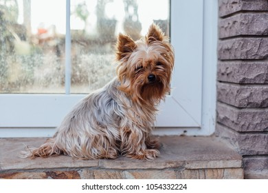 Cute Yorkshire Terrier dog in the yard next to the house