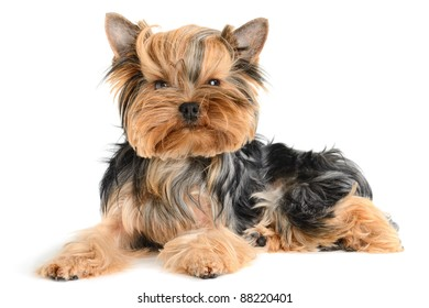 cute yorkshire terrier isolated on  white