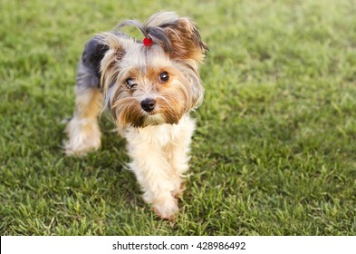 Cute Yorkshire terrier on a grass