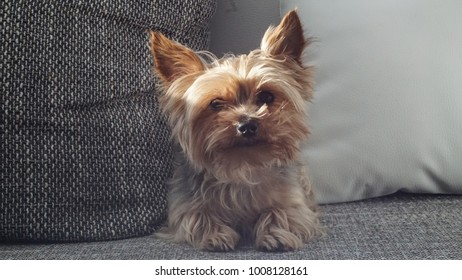 Cute Yorkshire terrier portrait sitting on the sofa.