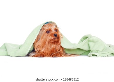 cute yorkshire terrier puppy dog under a blanket