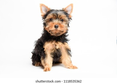 Cute yorkshire terrier puppy in studio on a white background