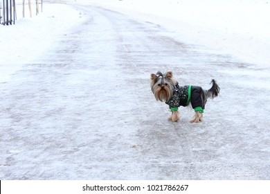 Cute yorkshire terrier standing on winter road in pet clothes. Dog outside.