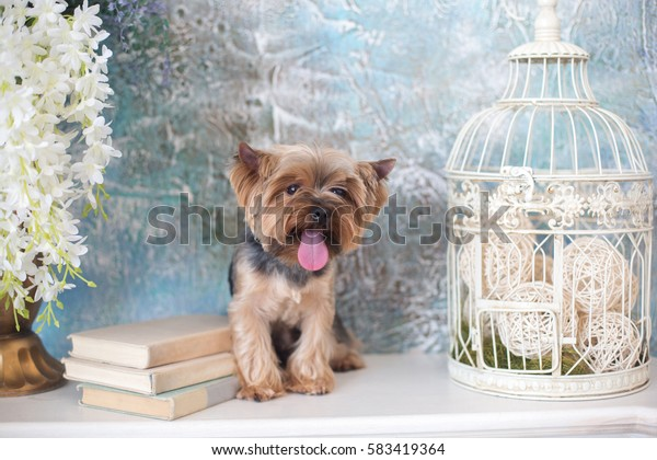 Cute Yorkshire Terrier. Studio photo shoot in the scenery