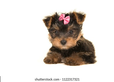 Cute yorkshire terrier, yorkie puppy lying down seen with a pink bow looking at the camera on a white background seen from the front