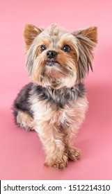 Cute yorkshire terrier, yorkie sitting  looking at the camera on a pink background.