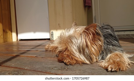 A cute Yorkshireterrier laying down in warmth of the spring sun