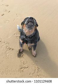 Cute young Australian Cattle Dog puppy on the beach in sunshine