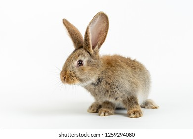 Cute young baby Flemish Giant rabbit, grey natural colour, isolated on white background.