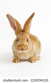 Cute young baby Flemish Giant rabbit, sandy colour, isolated on white background.