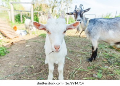 Cute young baby goat relaxing in ranch farm in summer day. Domestic goats grazing in pasture and chewing, countryside background. Goat in natural eco farm growing to give milk and cheese