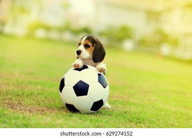 Cute young Beagle play ball in the grass