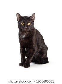 Cute young black cat sitting up on white background looking at camera