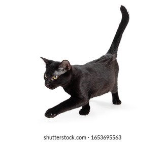 Cute young black cat walking forward on white