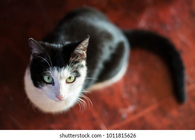 Cute, young, black and white kitten sitting on dark red floor, looking up - straight into the camera