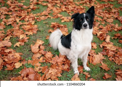 Cute young border collie sitting on lawn among autumn sycamore leaves.