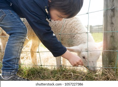 Cute young boy is feeding a sheep through a wired fence in the sunny day, Kid boy feeding old grass to sheep on the farm. Children activities with family concept for school holiday concept,