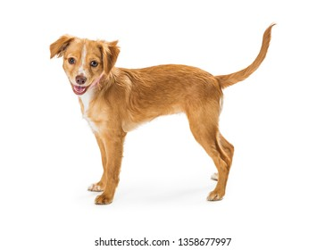 Cute young brown mixed small breed puppy dog standing to side on white looking at camera with mouth open and happy expression