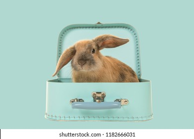 Cute young brown rabbit sitting in a turquoise blue suitcase on a blue background