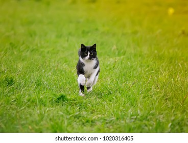 cute young cat running fun through a green juicy meadow in spring on a Sunny day