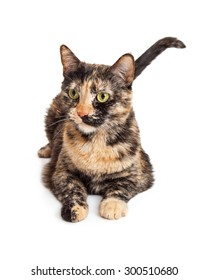 Cute young colorful tortie cat laying down and looking to the side