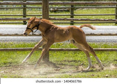 A cute young colt runs next to the fence line near Hayden, Idaho.