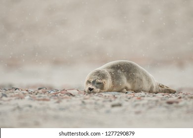Cute young common seal pup, close up, Phoca vitulina, Helgoland, North Sea, Germany