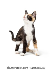 Cute young curious Calico kitten on white looking up and to the side