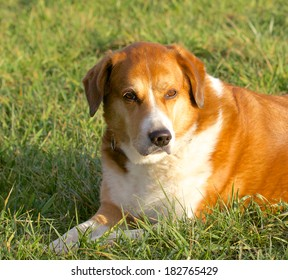 Cute young dog lying in the green grass of a Black Forest meadow