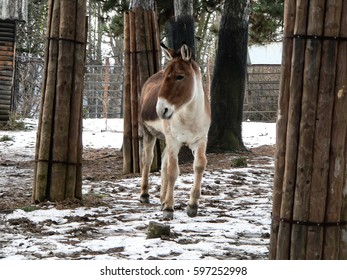 Cute young donkey running between trees on snowed ground in zoo.