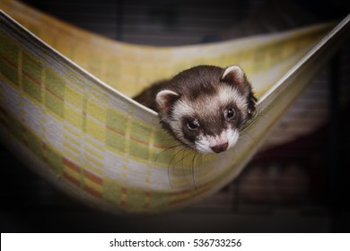 Cute young ferret or weasel in his cage