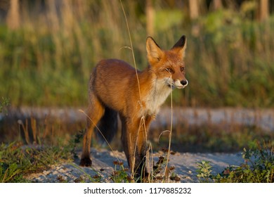 A cute, young, fiery, red fox cub stands, lit by the evening sun, against the background of grass. Look to the side. Evening light. One. Landscape