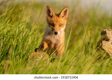 Cute young fox cub. Vulpes vulpes.