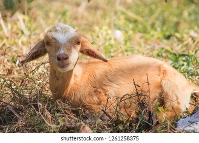 Cute young goat lying in the grass
