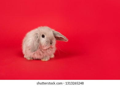 Cute young grey rabbit on a red background seen from the front with copy space