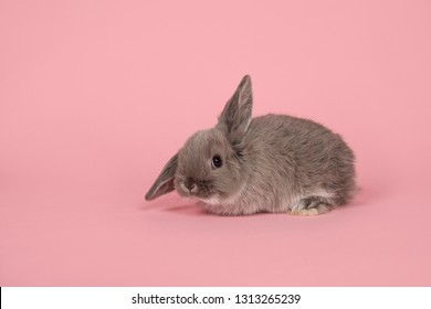 Cute young grey rabbit seen from the side on a pink background