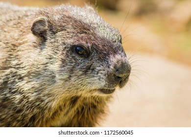 Cute Young Groundhog (Marmota Monax)  portrait in vintage settting