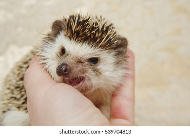 cute young hedgehog baby women in her hands, cuddling and trust