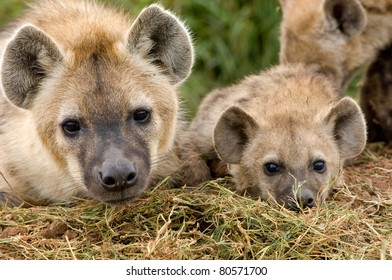 cute young hyena cubs in Kenya's Masai Mara