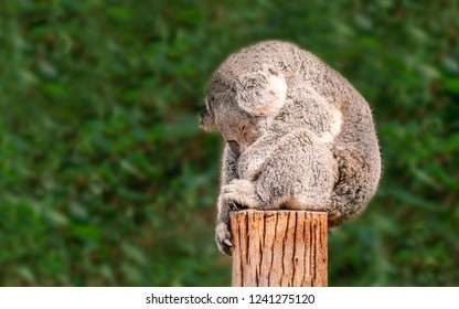 A cute young Koala sits sound asleep balanced on a wooden post in front of eucalyptus plants with his arm hanging down one side of a wooden post and his behind hanging over the back edge.